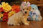 Picture of Macy-GORGEOUS Female WestiPoo Puppy!!!!