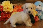Picture of Wyatt-ADORABLE Male WestiPoo Puppy!!!
