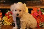 Picture of Finley-STUNNING Male WestiPoo Puppy!!!