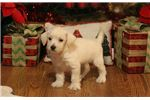 Picture of Prince-ADORABLE Male Westipoo Puppy!!!!!!!