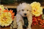 Picture of Parker-BEAUTIFUL Male WestiPoo Puppy!!!!