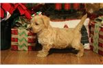 Picture of Ginger-GORGEOUS APRICOT Female Westipoo Puppy!!!!!