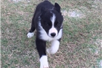 Picture of Tux the Border Collie