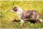 Bearded Collie for sale