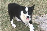 Border Collie for sale