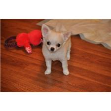 View full profile for Prestige Chihuahuas