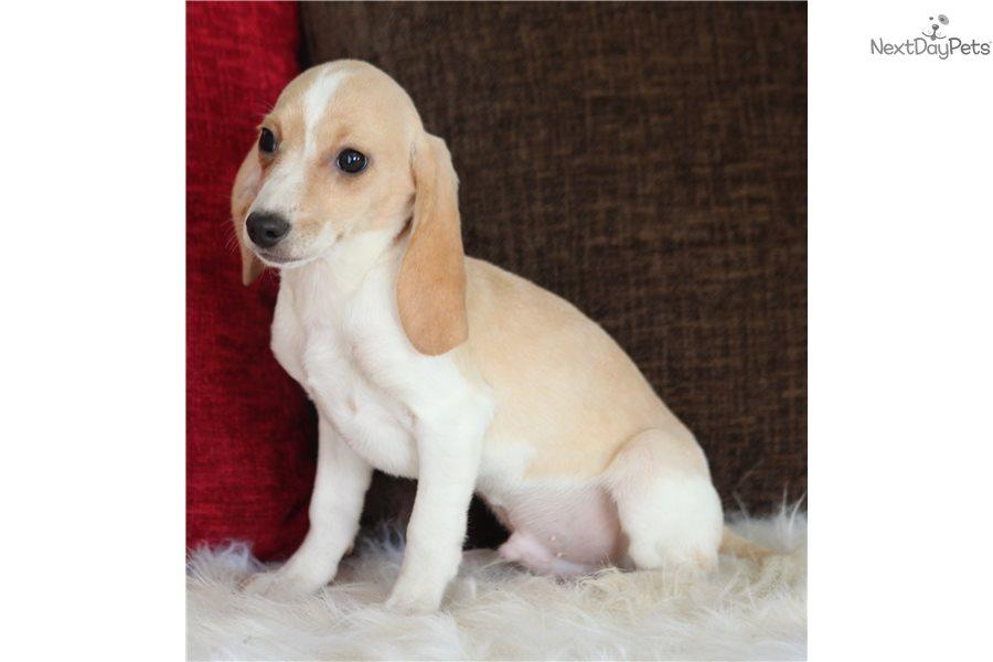 Corky Beagle Puppy For Sale Near Southeast Missouri