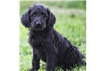 Picture of a Labradoodle Puppy