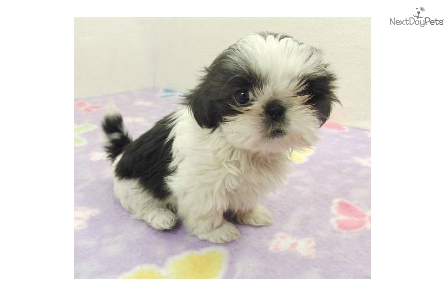 Black And White Shih Tzu | www.imgkid.com - The Image Kid ...