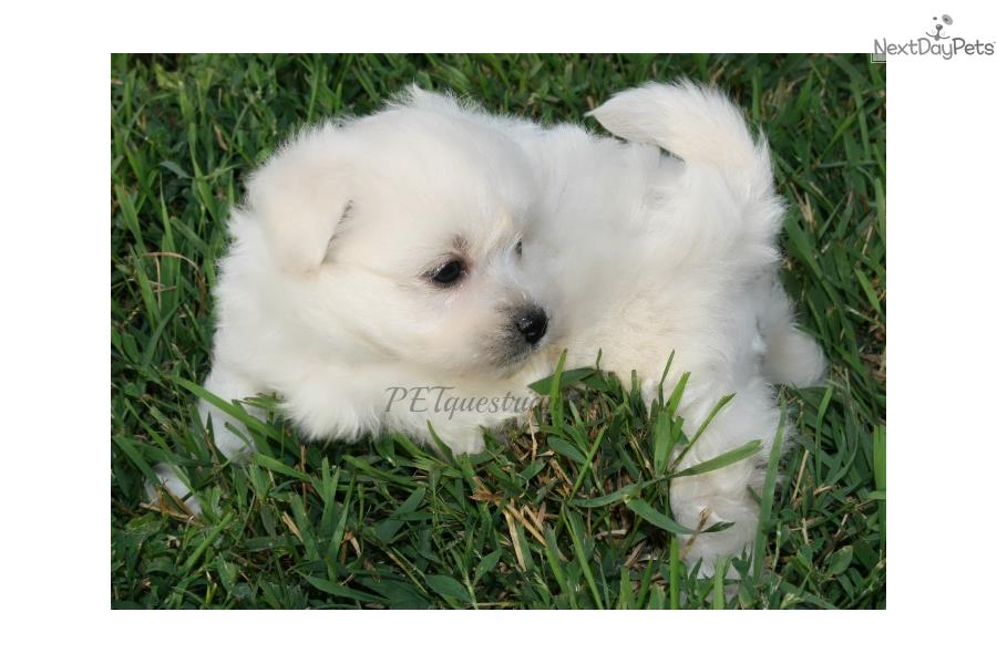 Meet White Female a cute Poma-Poo - Pomapoo puppy for sale ...