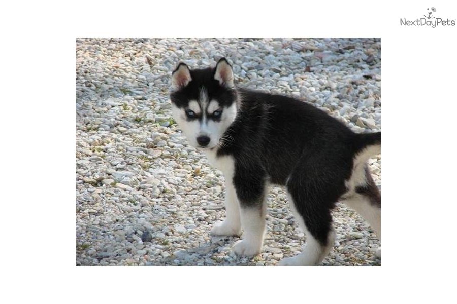 Black Husky Puppies Pictures to Pin on Pinterest - PinsDaddy
