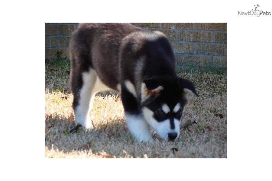 Meet Female a cute Alaskan Malamute puppy for sale for ...