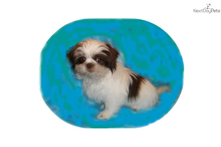 shih tzu puppies for sale in charleston sc shih tzu puppy for sale near charleston south carolina 9498