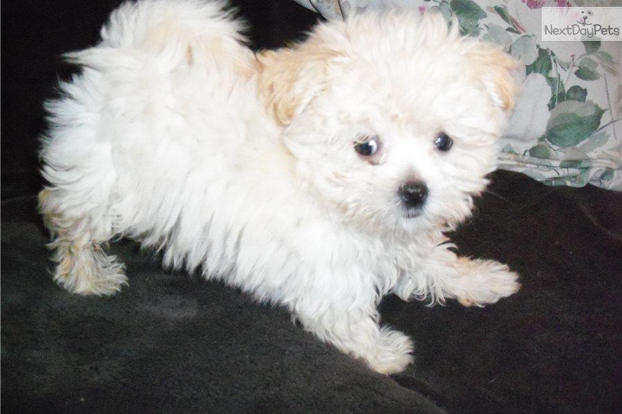 Malti Pom Maltipom Puppy For Sale Near Washington Dc