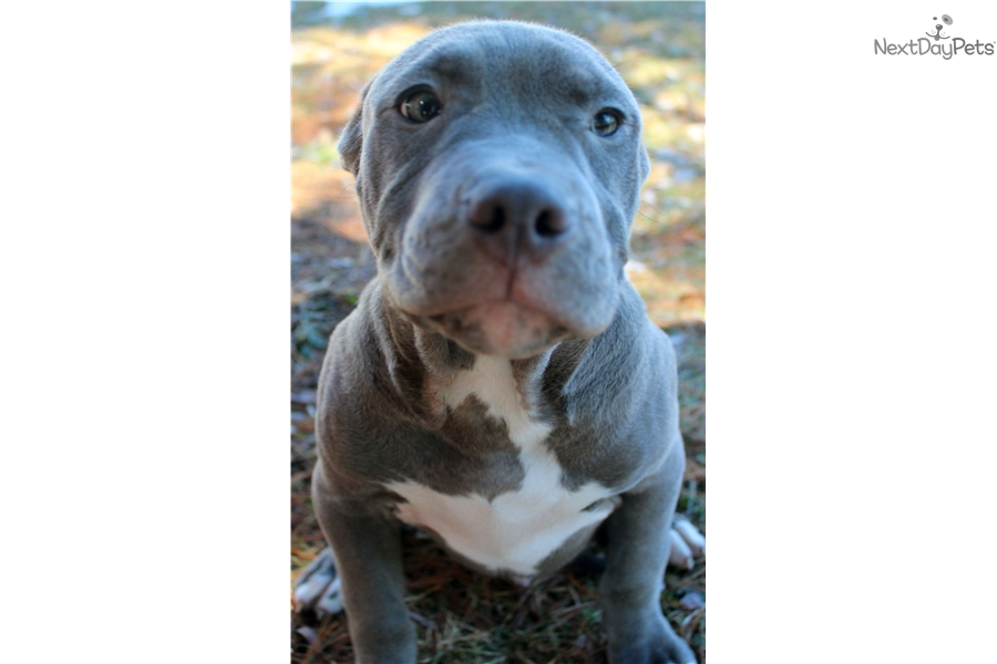 Male 2: American Pit Bull Terrier puppy for sale near Ithaca, New