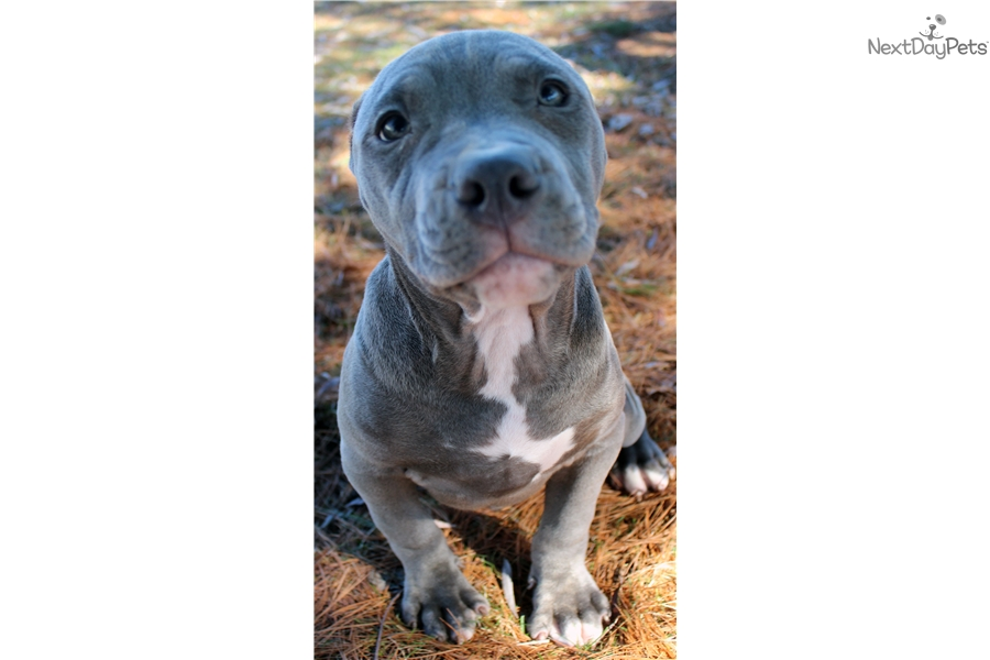 Male 1: American Pit Bull Terrier puppy for sale near Ithaca, New