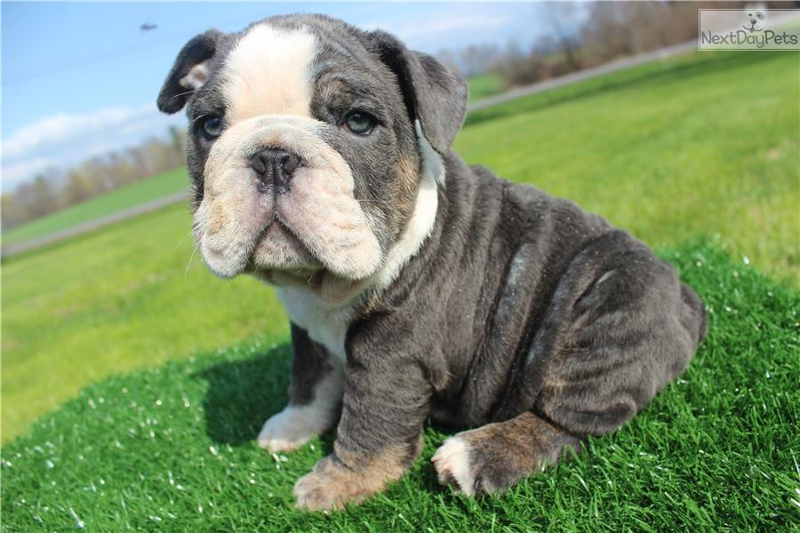 Chucka English Bulldog Puppy For Sale Near Ithaca New York