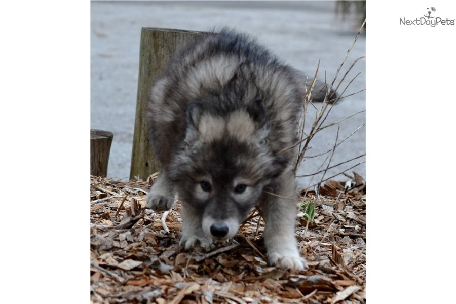 Boy Wolf Hybrid Dog Names