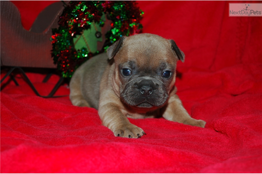 french bulldog mississippi french bulldog puppy for sale near southwest ms 8517