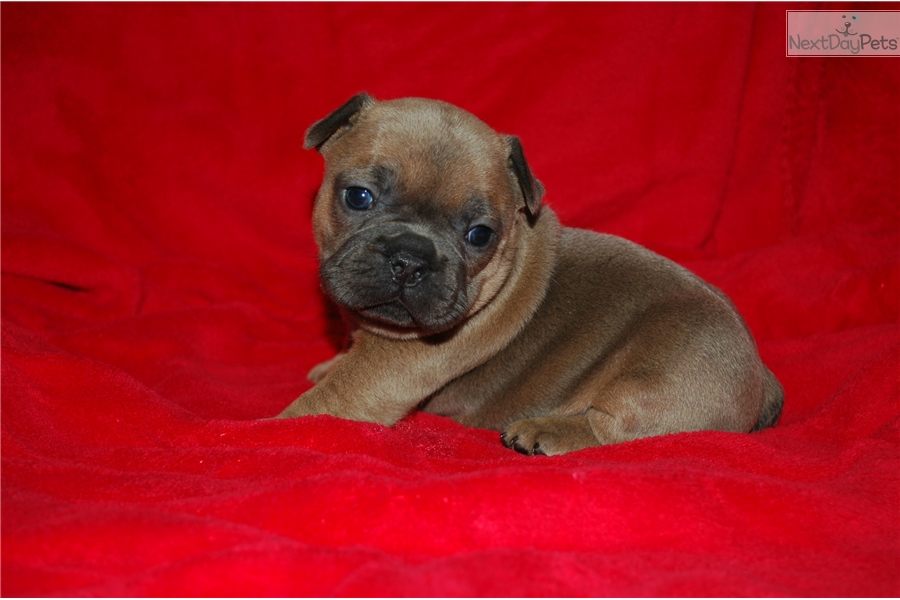 french bulldog mississippi french bulldog puppy for sale near southwest ms 4900