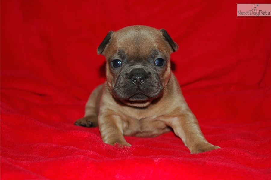 french bulldog mississippi sandy french bulldog puppy for sale near southwest ms 6909