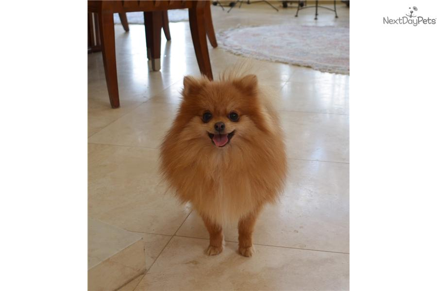 pomeranian groomer near me pomeranian puppy for sale near san diego california 5571