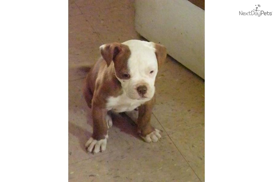 red nose american bulldog red nose american bulldog 9899