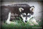Picture of AKC Alaskan malamutes