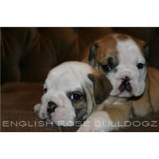 View full profile for English Rose Bulldogz