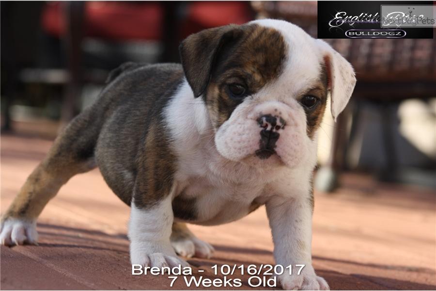 Brenda English Bulldog Puppy For Sale Near Tulsa Oklahoma