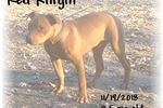 Picture of Red Knight: OFRN male: ADBA/UKC reg.