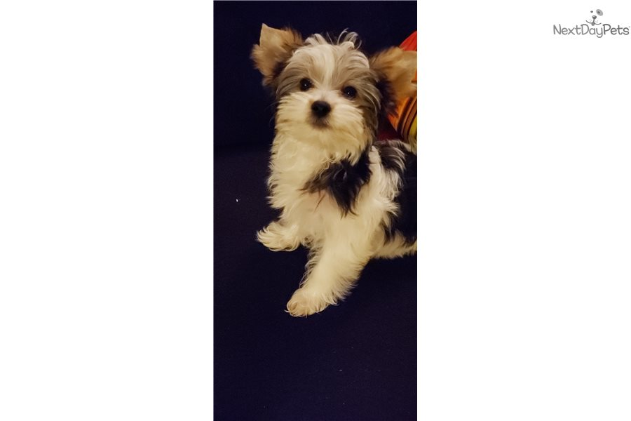 Puff Puff: Yorkshire Terrier - Yorkie puppy for sale near