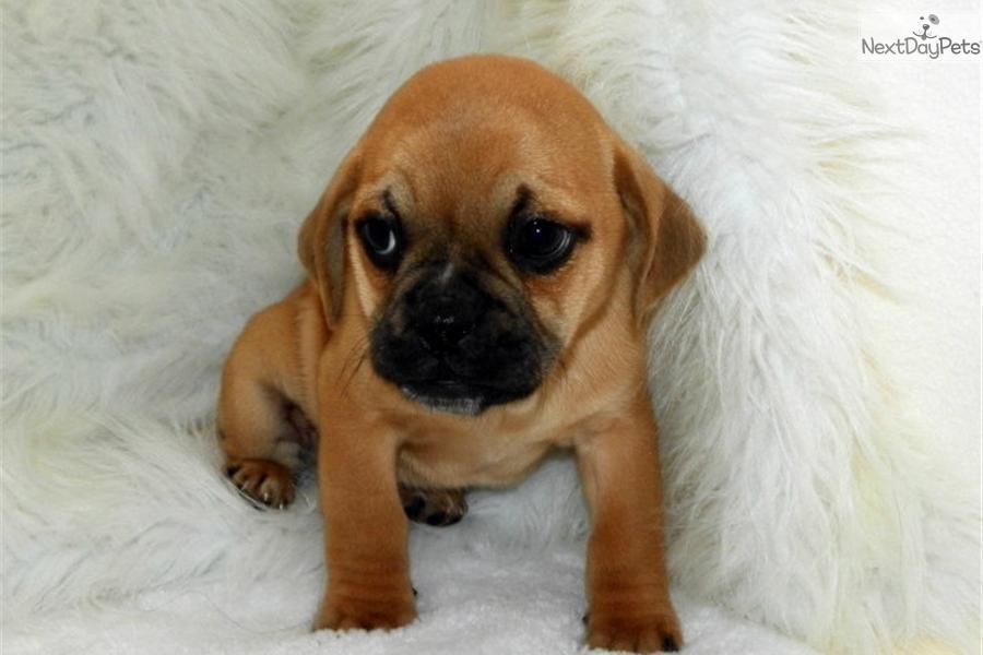 Baby Puggle Dog