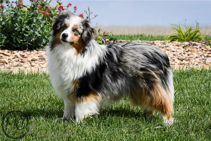 Accolades and breeding experience for your Miniature Australian Shepherd breeder