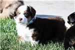 Darling | Puppy at 6 weeks of age for sale
