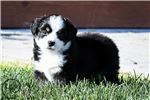 Tramp -  Toy Australian Shepherd | Puppy at 5 weeks of age for sale