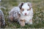 Picture of Tuff - Toy Australian Shepherd