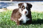 Toughy | Puppy at 6 weeks of age for sale