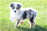 Picture of Lilo -- Toy Australian Shepherd