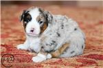 Picture of Peanut - Toy/Small Mini Australian Shepherd