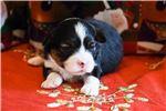 Picture of a Miniature Australian Shepherd Puppy