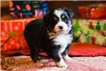 Miniature Australian Shepherd for sale