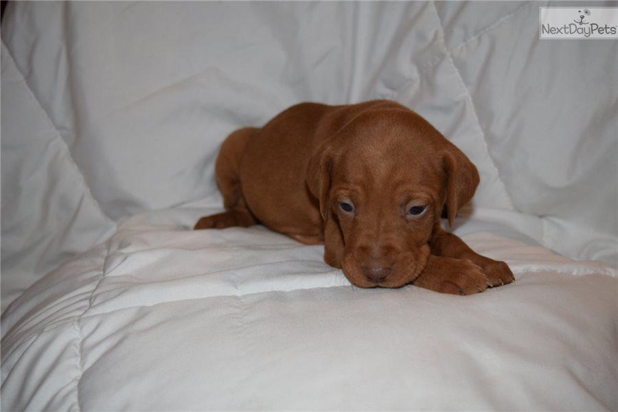 Duke: Vizsla puppy for...