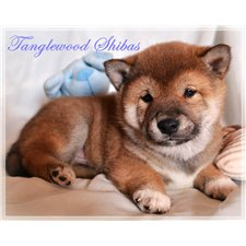 View full profile for Tanglewood Shibas