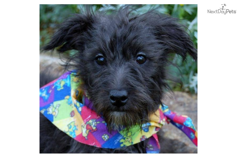 Adopt Pica A Yorkiepoo Yorkie Poo Puppy For Pica