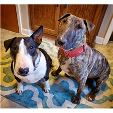 View full profile for Finesse Bull Terriers