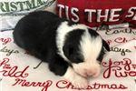 Picture of Standard Australian Shepherd Puppy