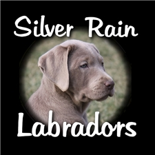 View full profile for Silver Rain Labradors