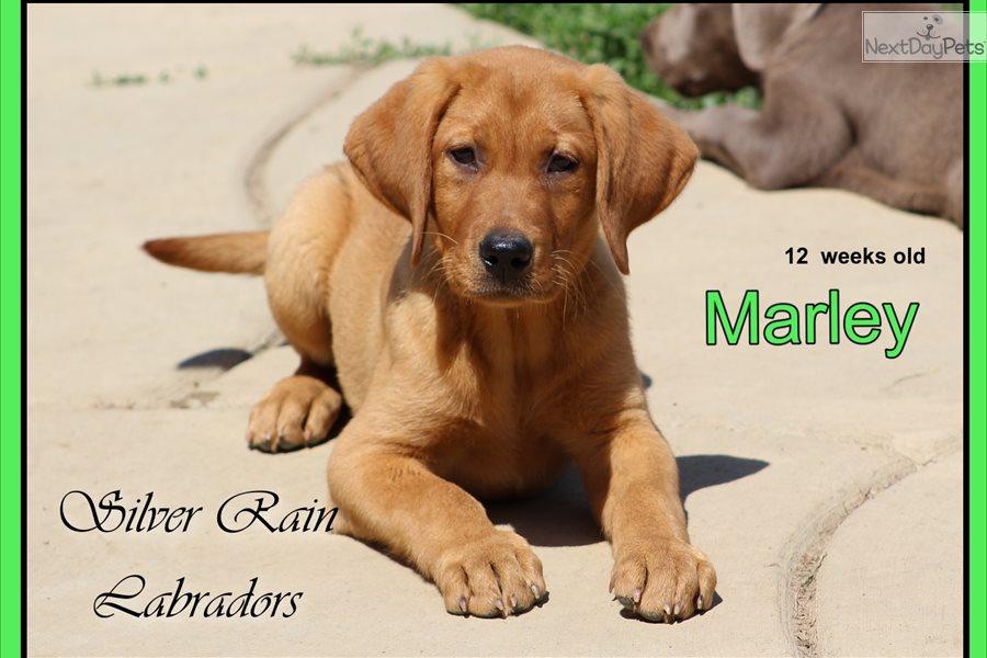 Marley: Labrador Retriever puppy for sale near Columbus, Ohio