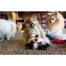 View full profile for Rainier Pomeranians